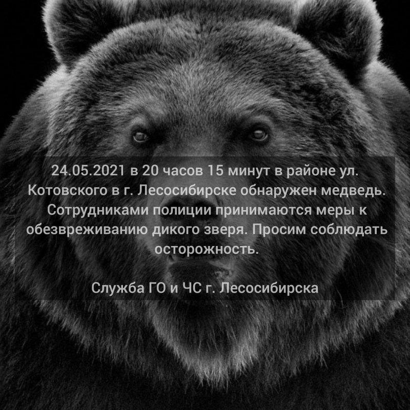 В черте города Лесосибирска открыли охоту на медведей