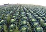 В Боготольском районе в скором времени круглогодично будут выращивать овощи