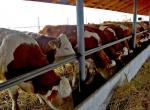 В 2011 в крае будет реализовано 10 проектов по животноводству