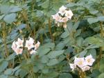 Россельхознадзором установлены границы очагов золотистой картофельной нематоды