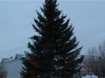 В Боготоле установили главную елку