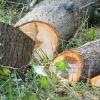 В Минусинске вырубили сосен на 200 тысяч рублей