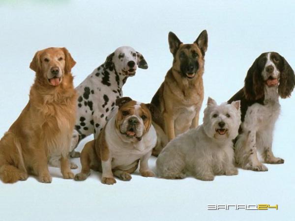Бассет-хаунд собаки
