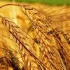 В Шарыповском районе намолотили 137 тысяч тонн зерна