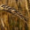 В Тюхтетском районе уничтожается запас посевной пшеницы