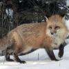 В соседней республике Хакасия планируется массовый отстрел лис