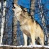 В Минусинский район идут волки