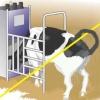В Красноярском крае коровы погибли от удара током