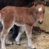Красноярцев приглашают посмотреть на новорожденного пони