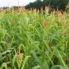В Красноярском крае будут сеять больше кормовых культур