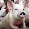 В ЗАО «Назаровское» привезли племенных свиней и хряков из Канады