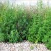 В Красноярске в Советском районе ликвидируют наркосодержащие растения.