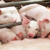 Свинины в крае вдвое станет больше