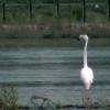 Розовый фламинго прилетел в Красноярск