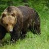 В Березовском районе медведь гулял на территории «Сибирской губернии»