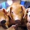 В ЗАО «Назаровское» привезли 576 голов племенных свиней из Канады