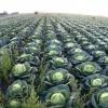 Окончание полевых работ отпраздновали в Ачинском районе