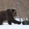 ГУ МЧС предупреждает: в крае проснулись медведи