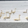 В Хакасию прилетели лебеди