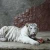 """Белый тигр из Парка """"Роев ручей"""" предскажет итоги матча Россия - Алжир"""