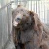 В абаканском Центре живой природы бурые медведи отменят серебряную свадьбу