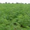 В Ачинском районе закончили обработку очагов дикорастущей конопли