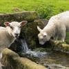 В Бейском районе мужчина украл у соседки двух овец