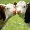 В Бейском районе мужчина заколол и продал девять краденых коров