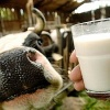 В Хакасии выявлены поставщики фальсифицированной молочной продукции