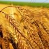 Красноярские аграрии получат поддержку на Агропромышленном форуме Сибири