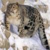 В Хакасии  сохранили образ  снежной кошки
