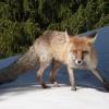 В Ужурском районе отстреливают лис