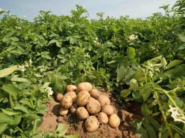 ВКрасноярске ученые создали картофель, который непортится