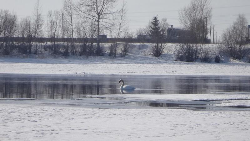 Вгороде Канск Красноярского края поселился одинокий белый лебедь