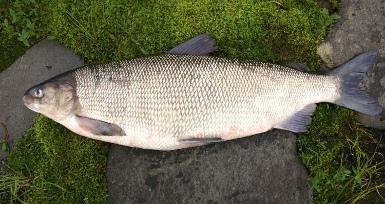 ВКрасноярском крае пропадает  популяция рыбы ценной породы муксун