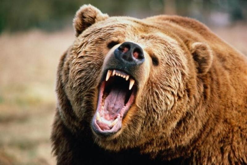 ВЕргаках ради туристов отстрелят 10 рискованных медведей