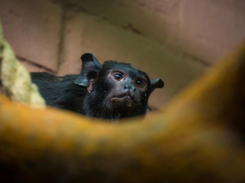 В «Роев ручей» привезли самца тропической обезьяны