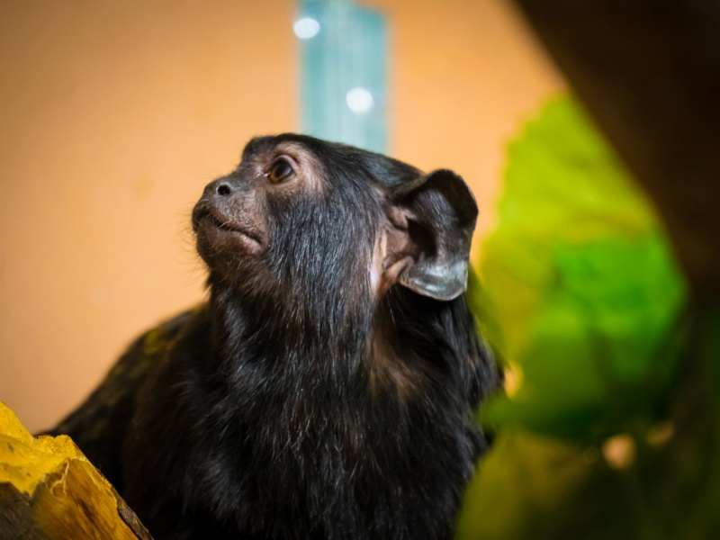 Взоопарке для самца редкой обезьяны устраивают шоу «Холостяк»
