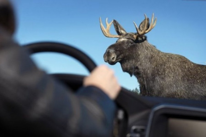 Натрассе вКрасноярском крае шофёр  иномарки сбил лося