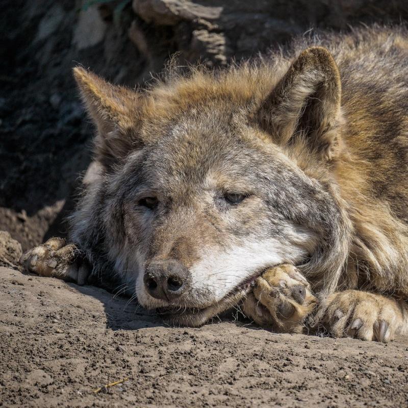 Взоопарке Красноярска скончался волк-долгожитель Чингиз