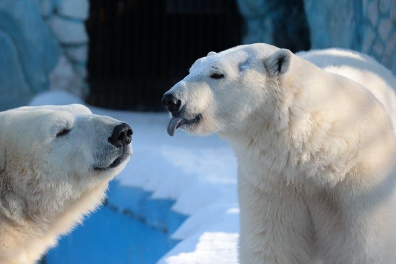 В «Роевом ручье» устраивают показательные питания белых медведей