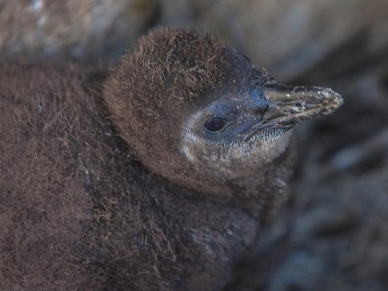 ВКрасноярском зоопарке упары очковых пингвинов появился птенец