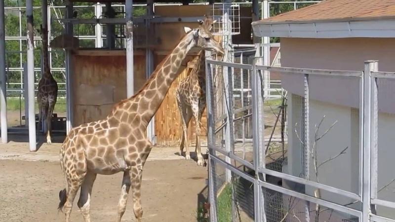 Посетители зоопарка закормили жирафу досмертельно опасного заболевания
