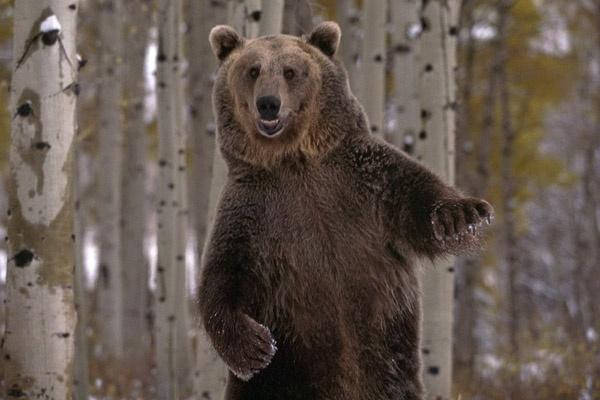 Танцующий медведь bear