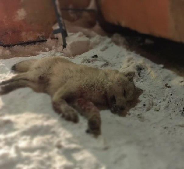 Пугавшего граждан Норильска волка убили