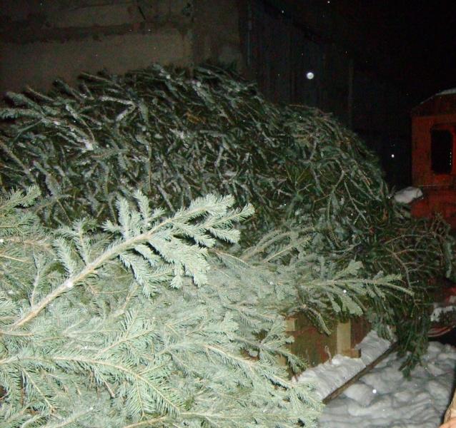 Гражданин Шушенского нелегально срубил 32 «новогодние ели»