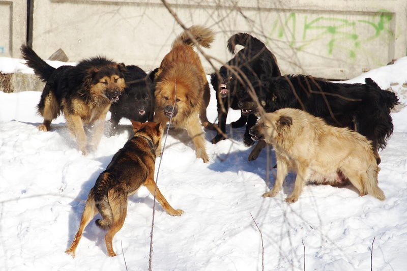 ВКрасноярске проблемой бездомных собак займутся учёные