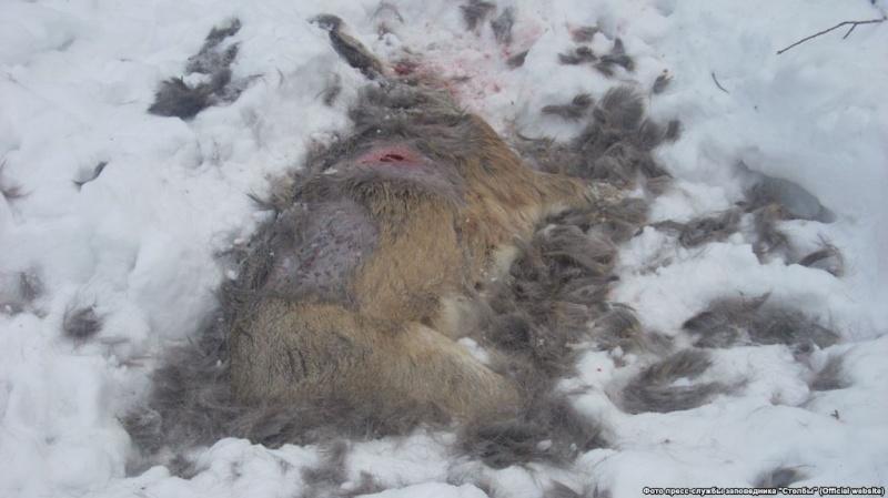 Красноярск: взаповеднике «Столбы» стаи бродячих собак убивают маралов