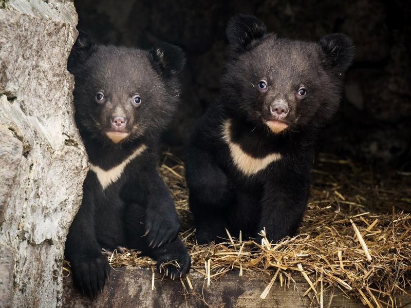 Вкрасноярском зоопарке родились гималайские медвежата